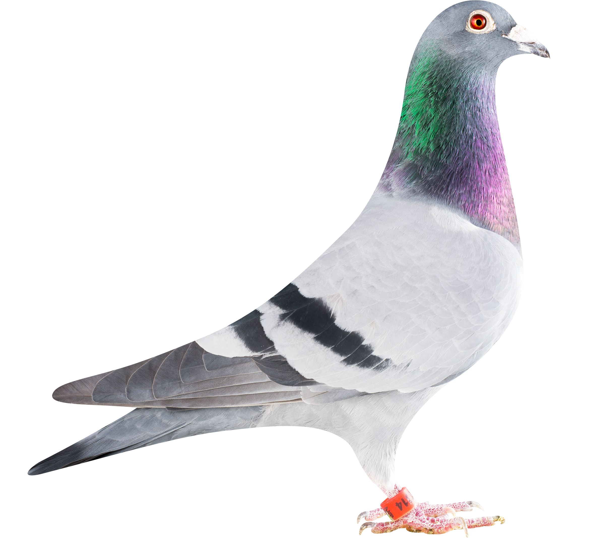 BE12 4278314 pigeon